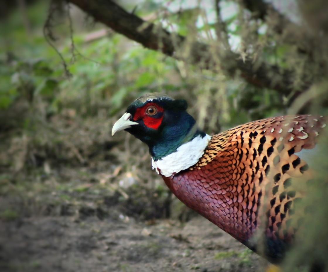 """Male pheasant"" stock image"