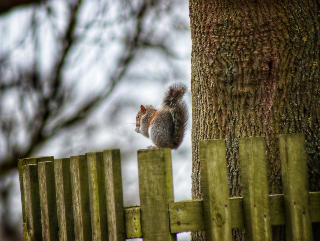 """""""Grey Squirrel on fence eating"""" stock image"""