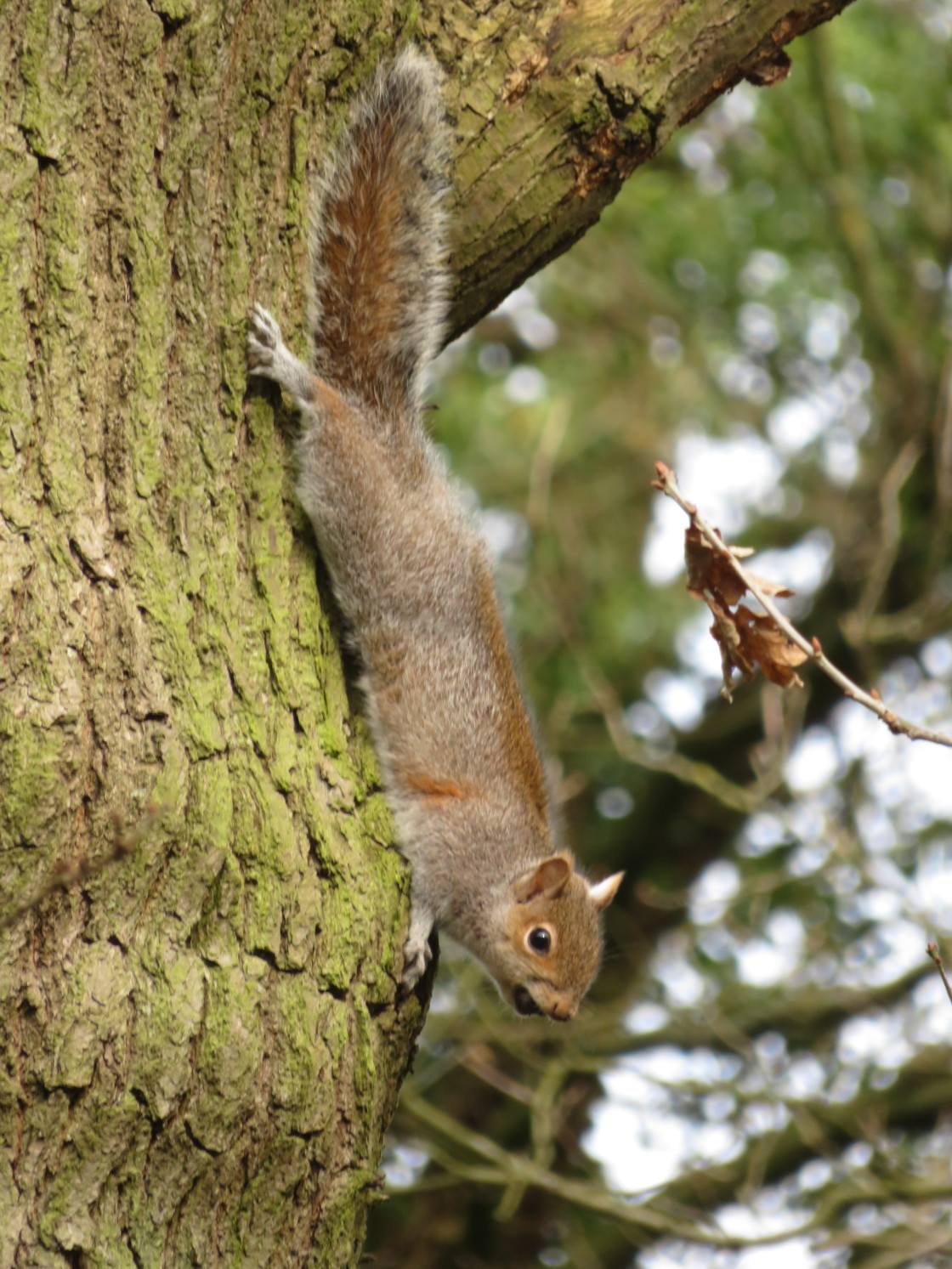 """""""Grey Squirrel on tree trunk"""" stock image"""