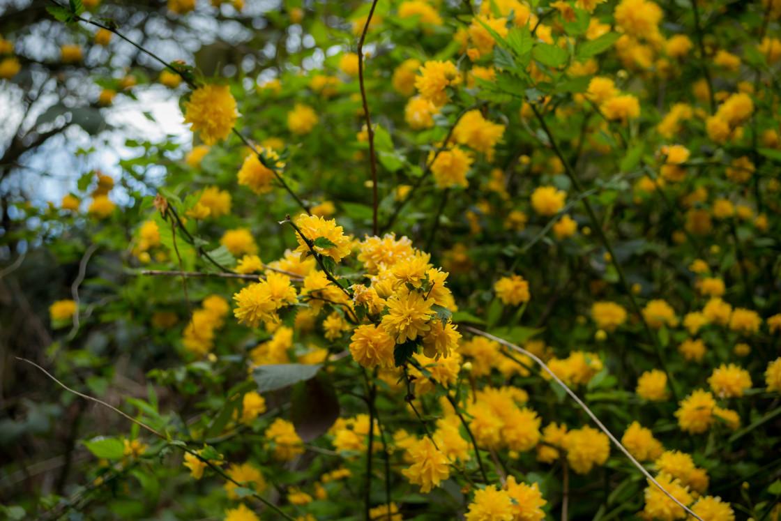 """Kerria japonica Flowers"" stock image"
