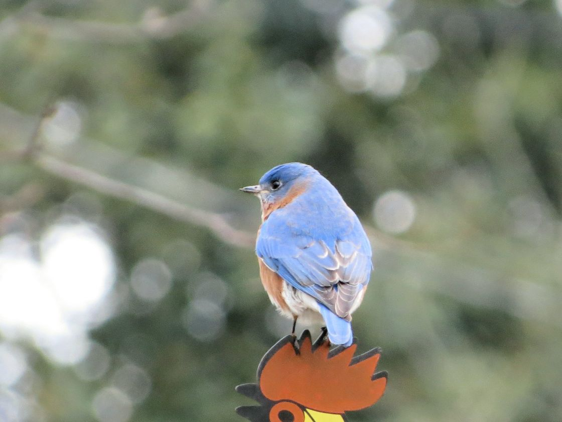 """Bluebird"" stock image"