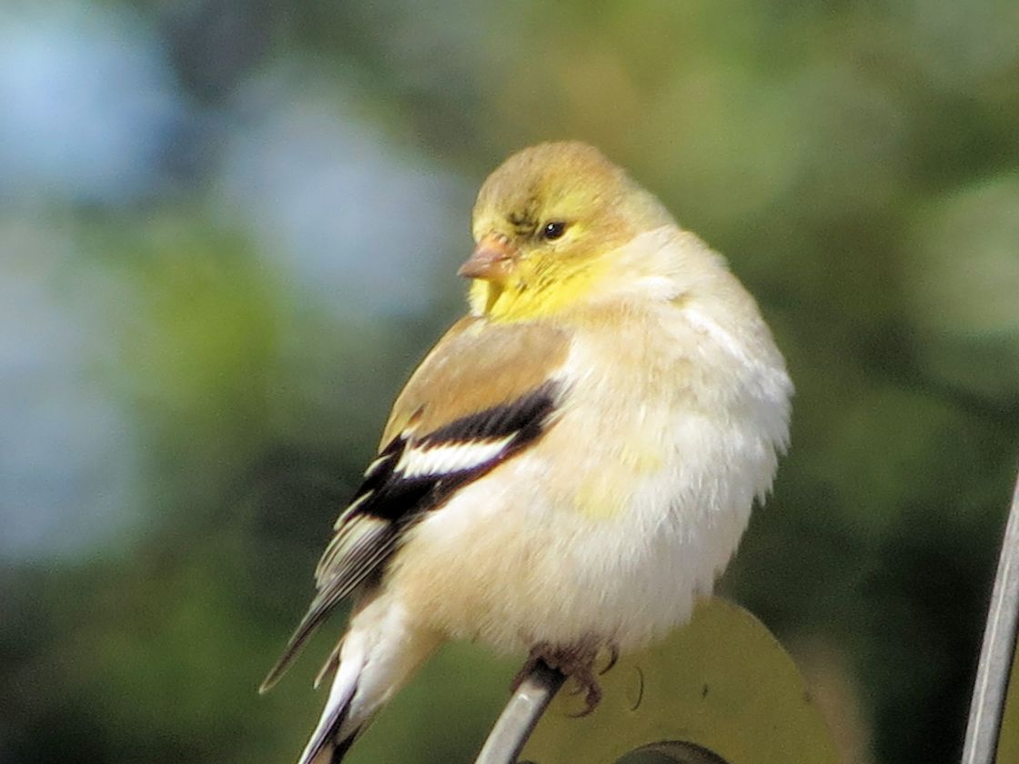 """American Goldfinch"" stock image"