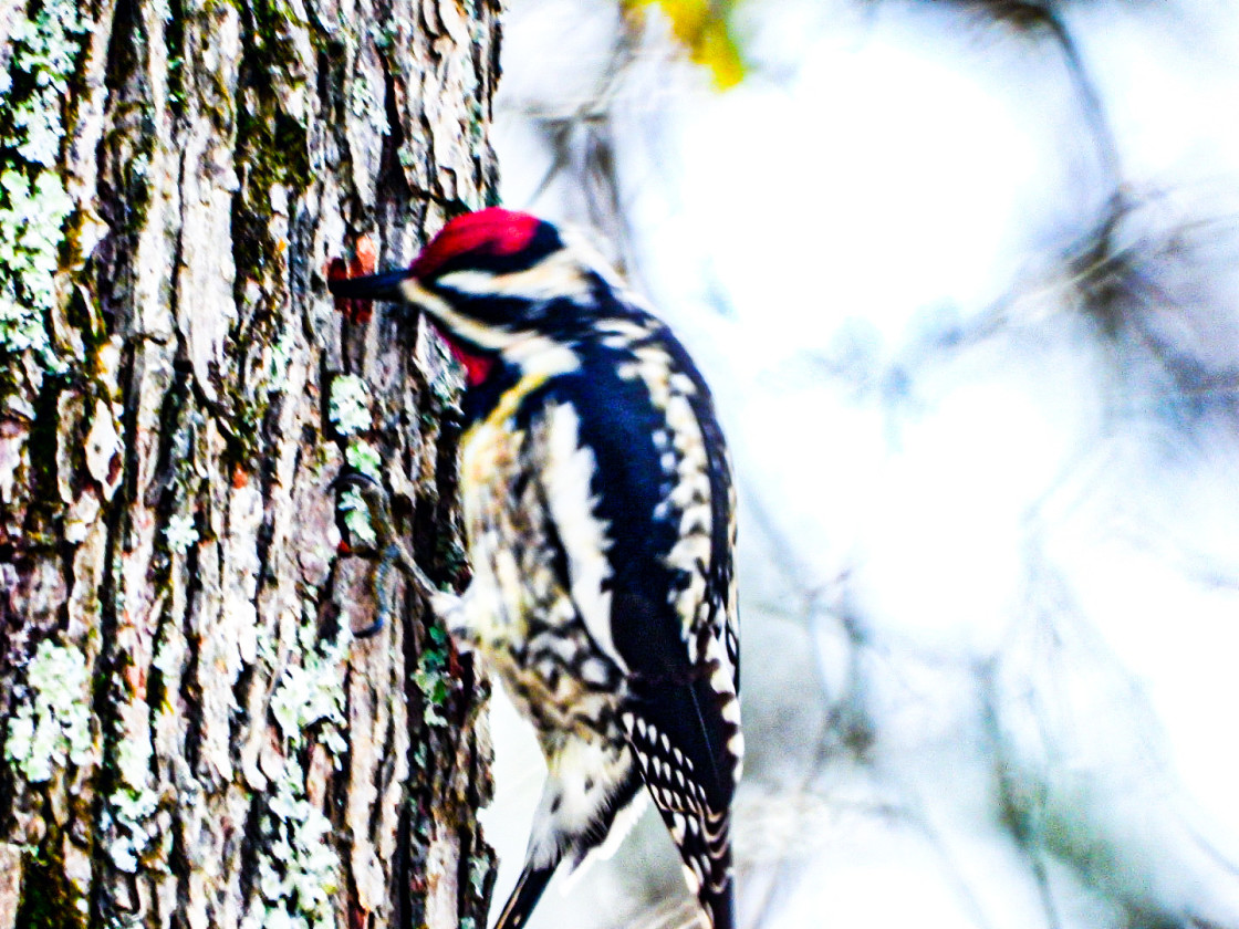 """Downy Woodpecker"" stock image"