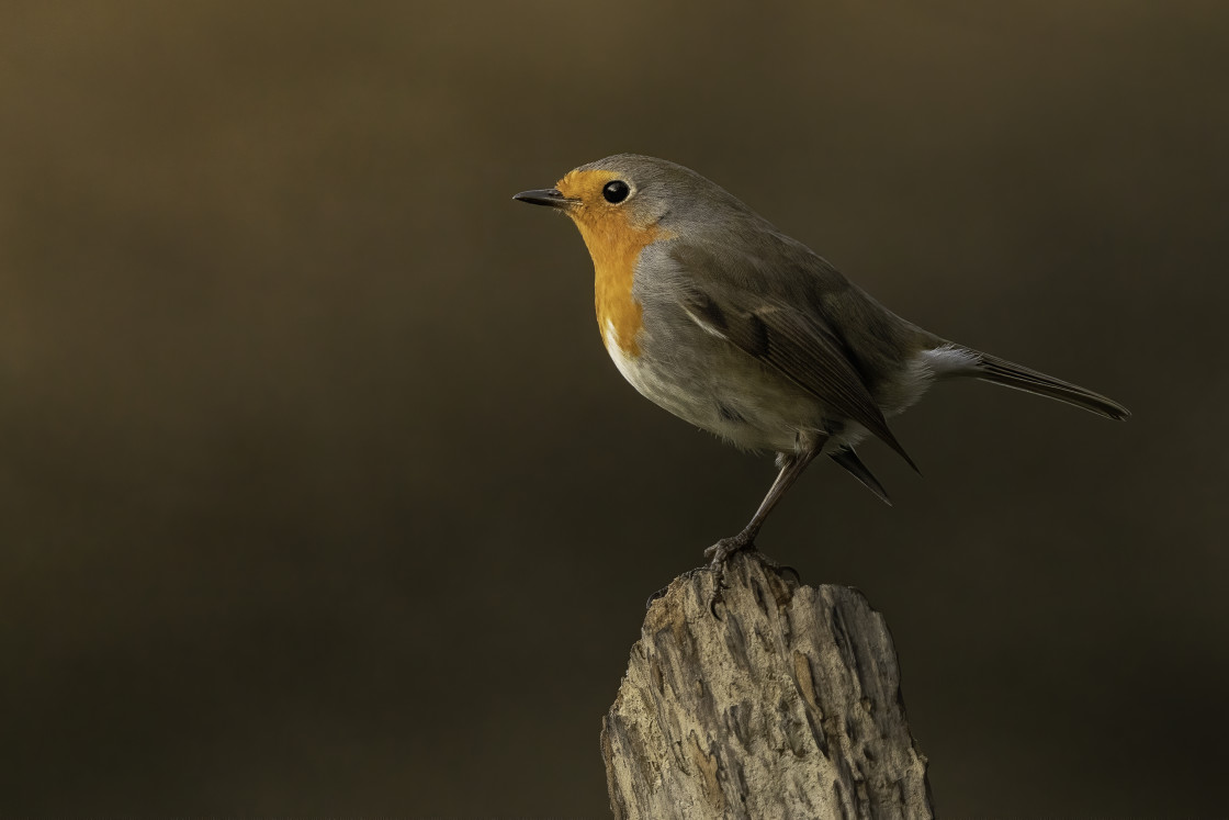 """The European robin (Erithacus rubecula)"" stock image"
