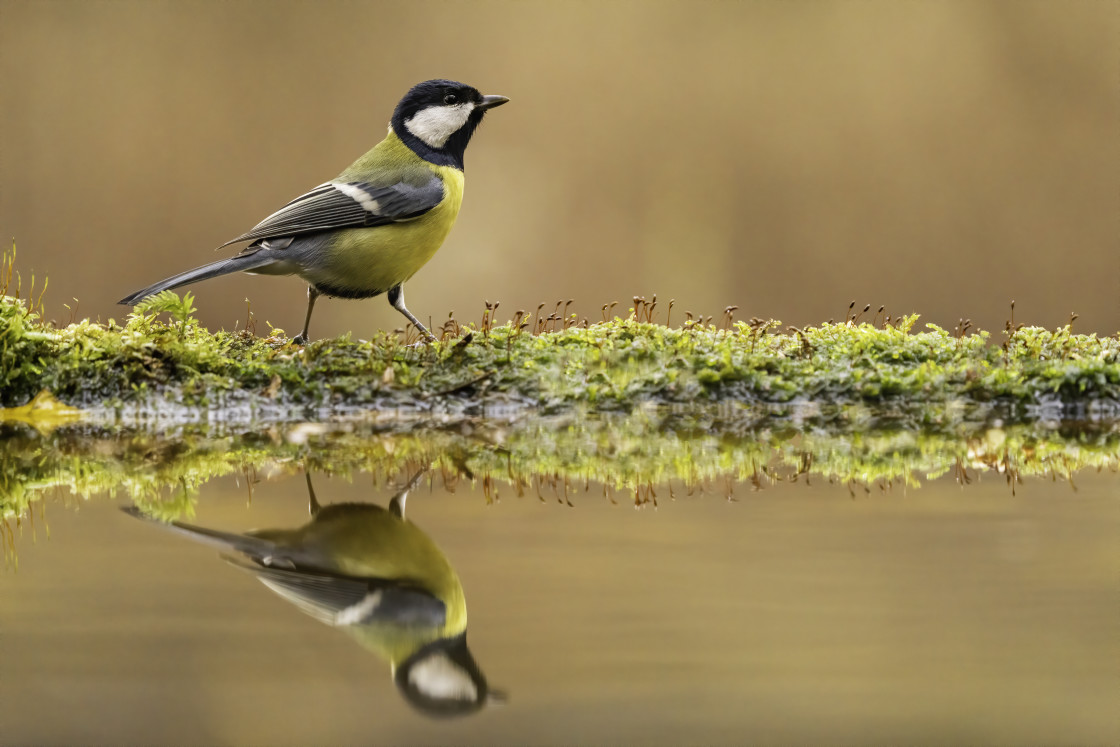 """""""The great tit (Parus major)"""" stock image"""