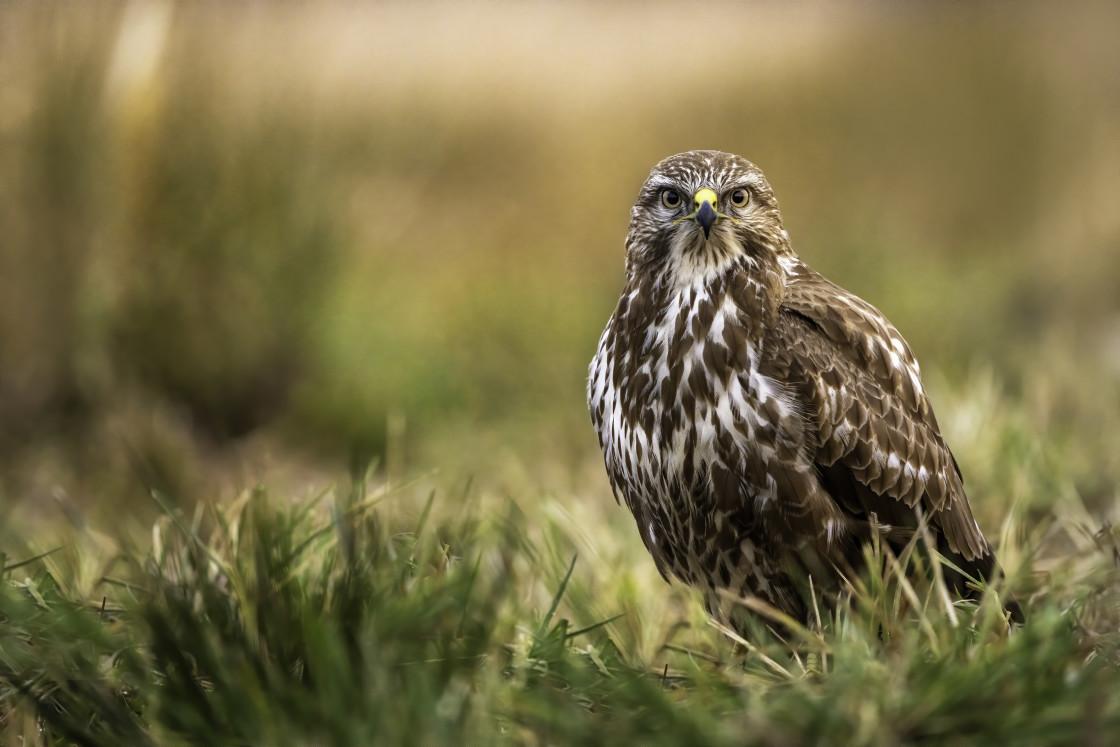 """""""The common buzzard (Buteo buteo)"""" stock image"""