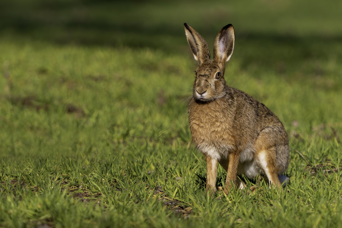 """Brown hare (Lepus europaeus)"" stock image"