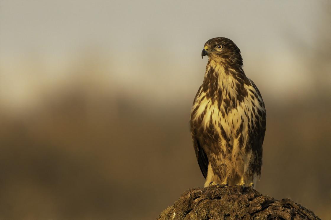 """""""Common buzzard (Buteo buteo)"""" stock image"""