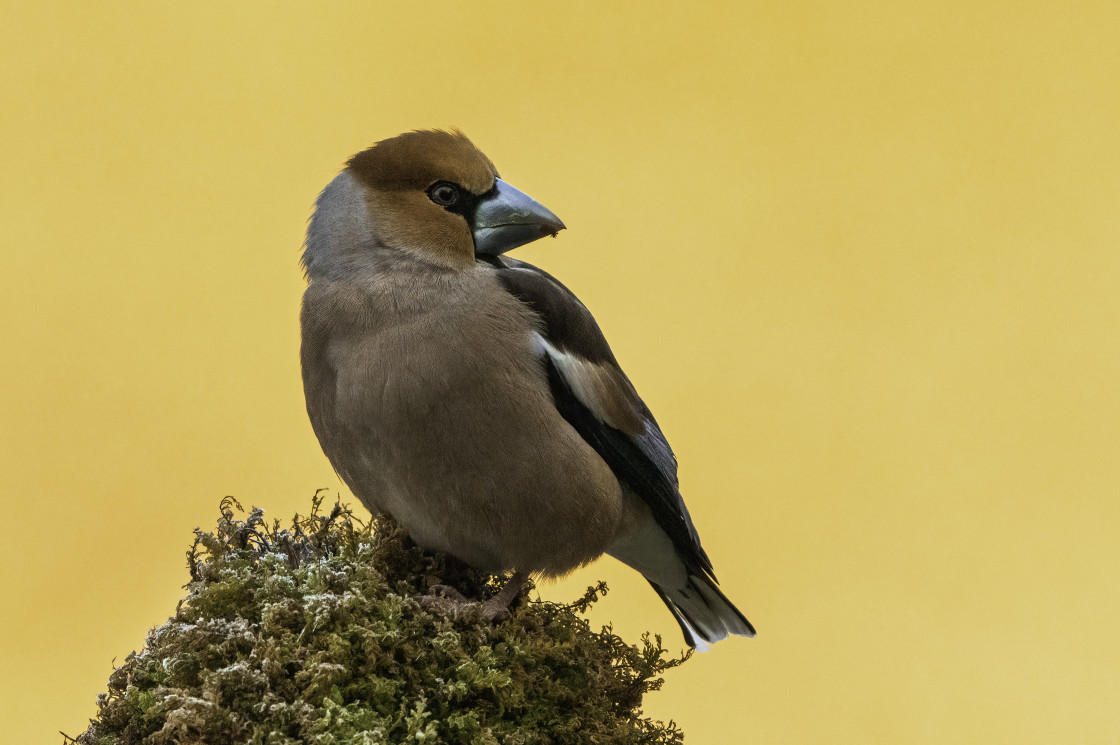 """""""Hawfinch (Coccothraustes coccothraustes)"""" stock image"""