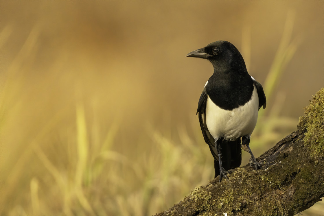 """""""Eurasian magpie (Pica pica)"""" stock image"""