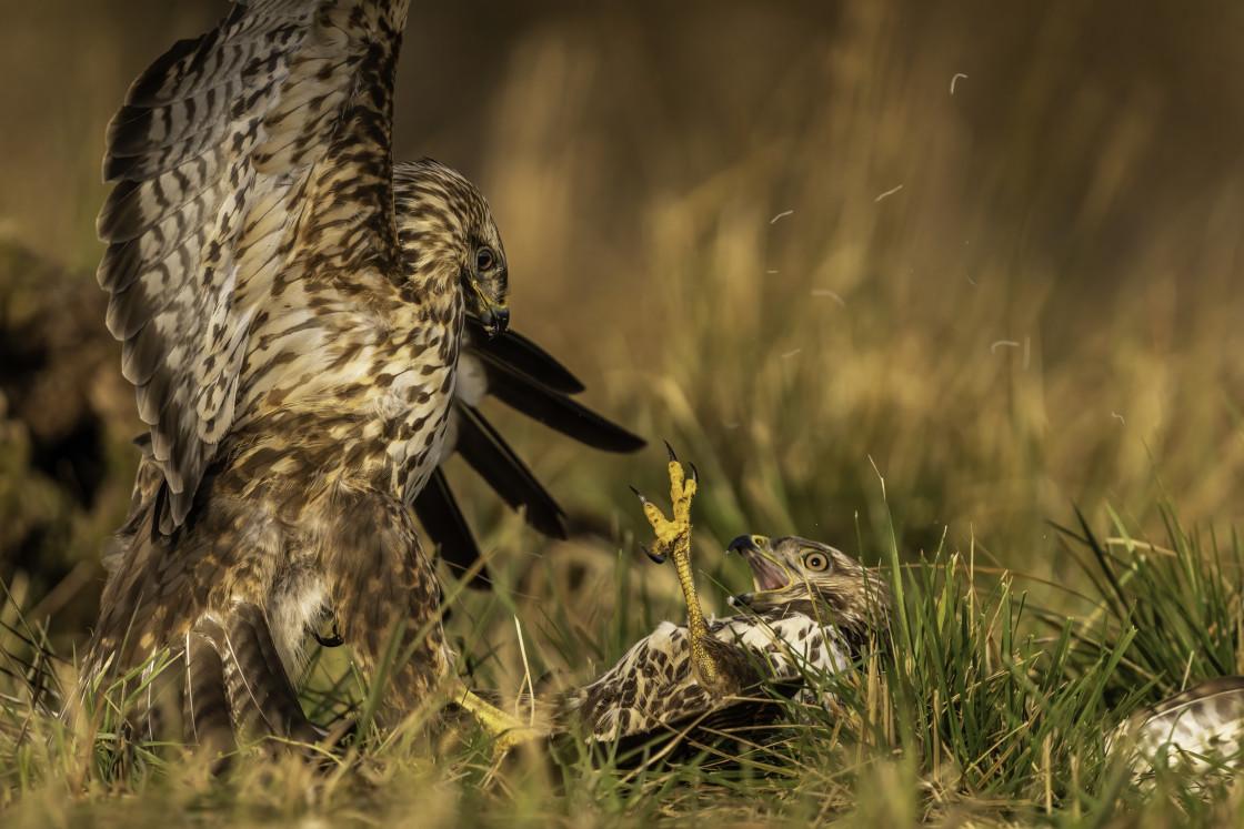 """""""Common buzzards fight (Buteo buteo)"""" stock image"""