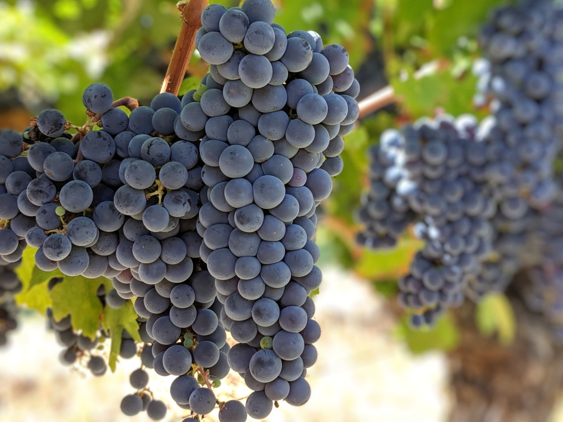 """Bunches of wine grapes on the vine."" stock image"