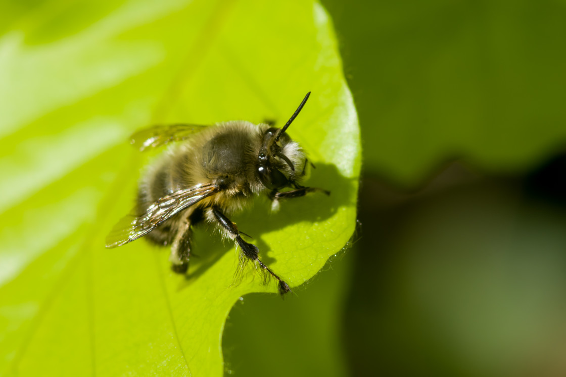 """""""Hairy-footed Flower Bee"""" stock image"""