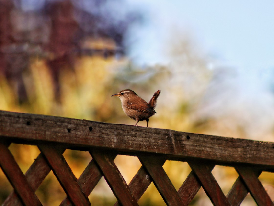 """""""Jenny Wren perched on fence"""" stock image"""