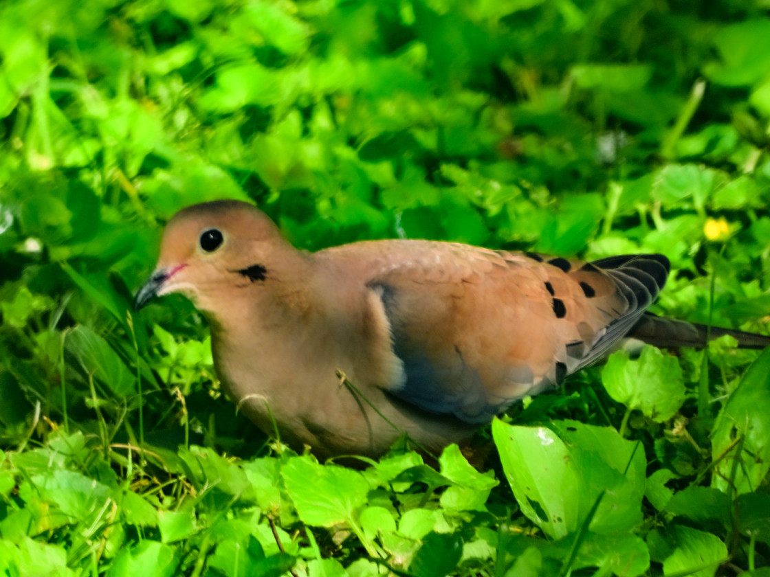 """Mourning Dove"" stock image"