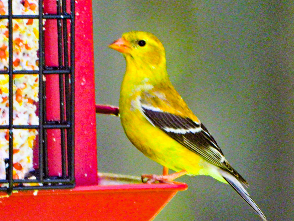 """American Goldfinch (Male)"" stock image"