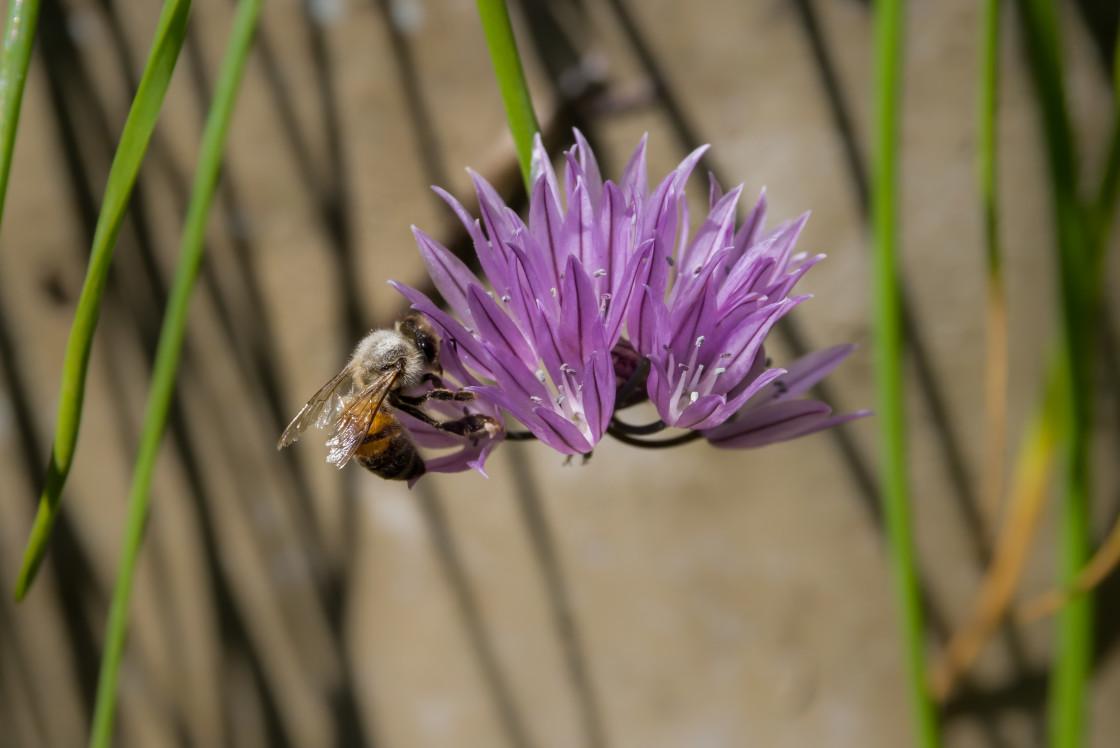 """Honey Bee on Chive Flower"" stock image"