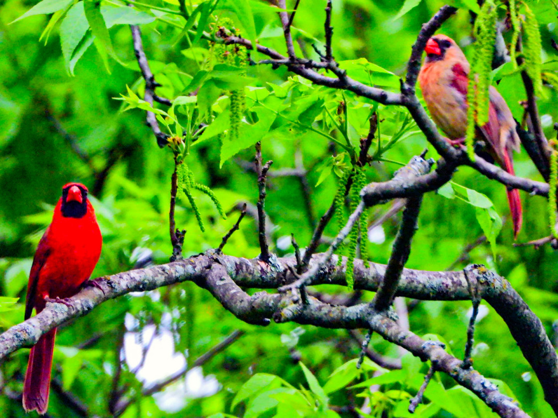 """Northern Cardinal"" stock image"