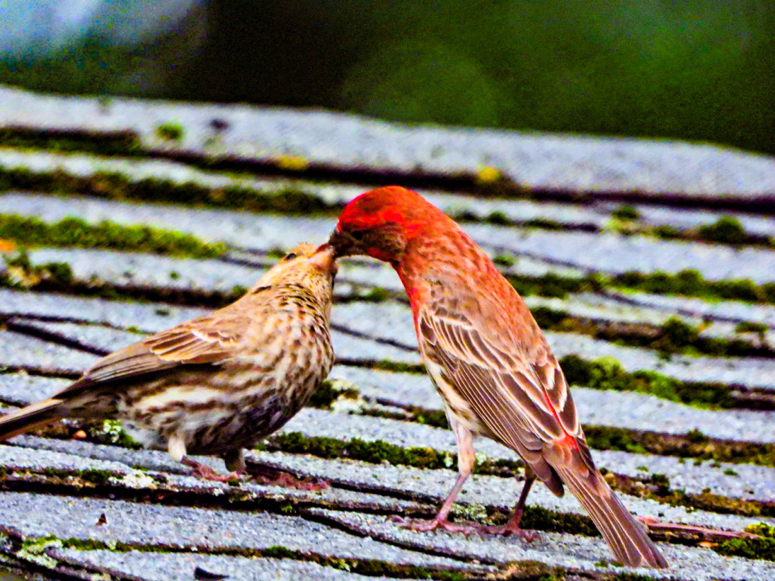 """House Finch"" stock image"