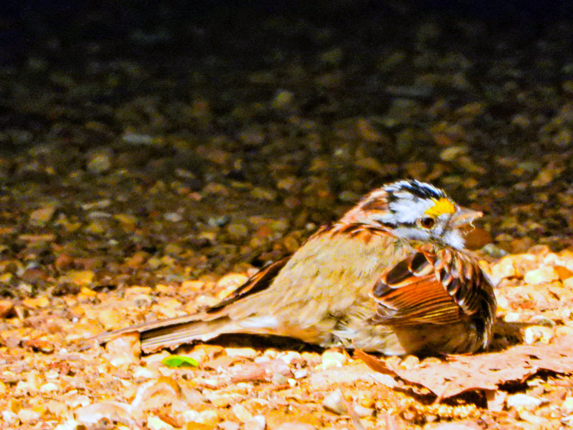 """""""White-Throated Sparrow"""" stock image"""