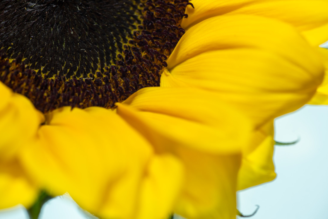 """""""Partial Sunflower"""" stock image"""