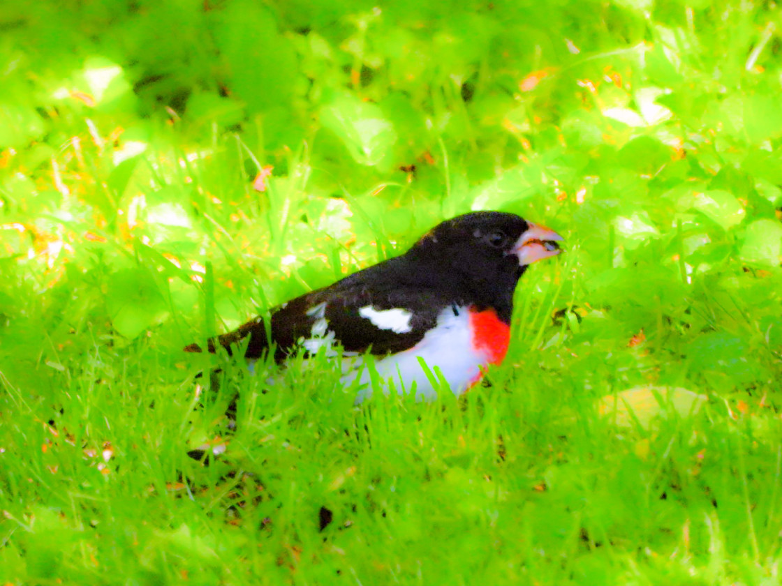 """Rose-Breasted Grosbeak"" stock image"