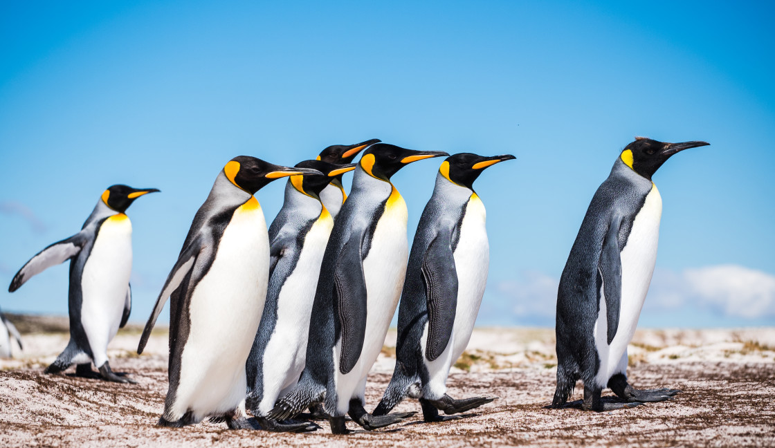 """King Penguins"" stock image"