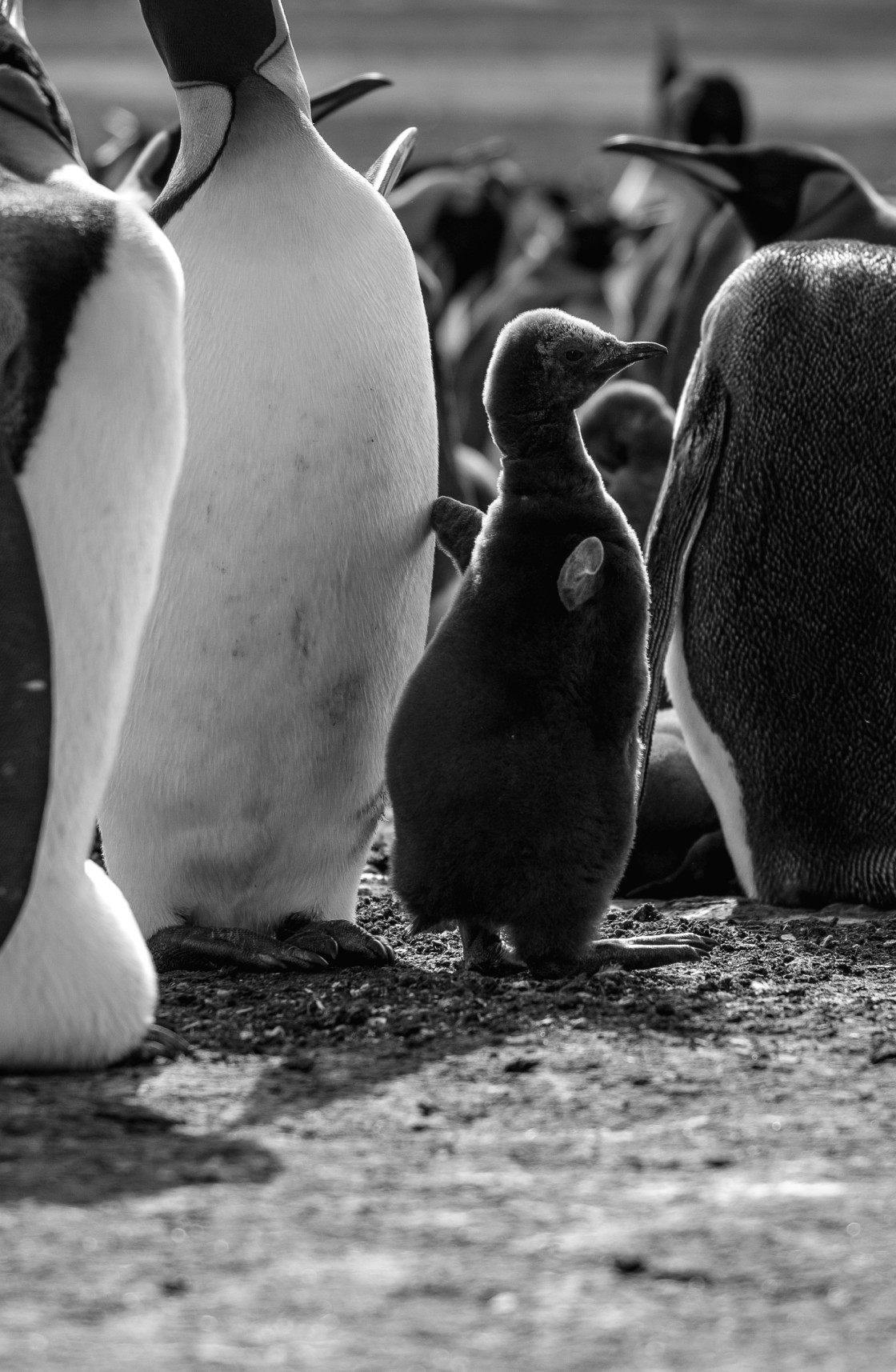 """King Penguin Chick"" stock image"