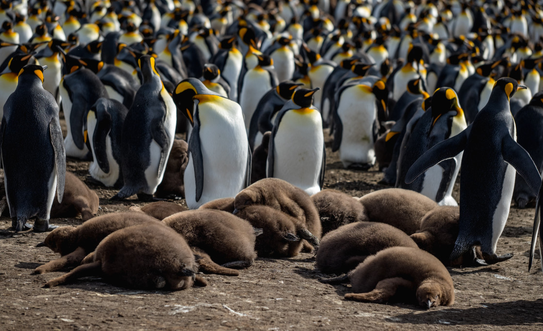 """King Penguin Chick Nap Time"" stock image"