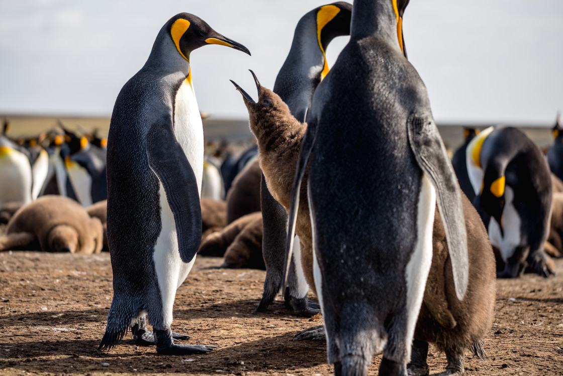 """Hungry King Penguin Chick"" stock image"