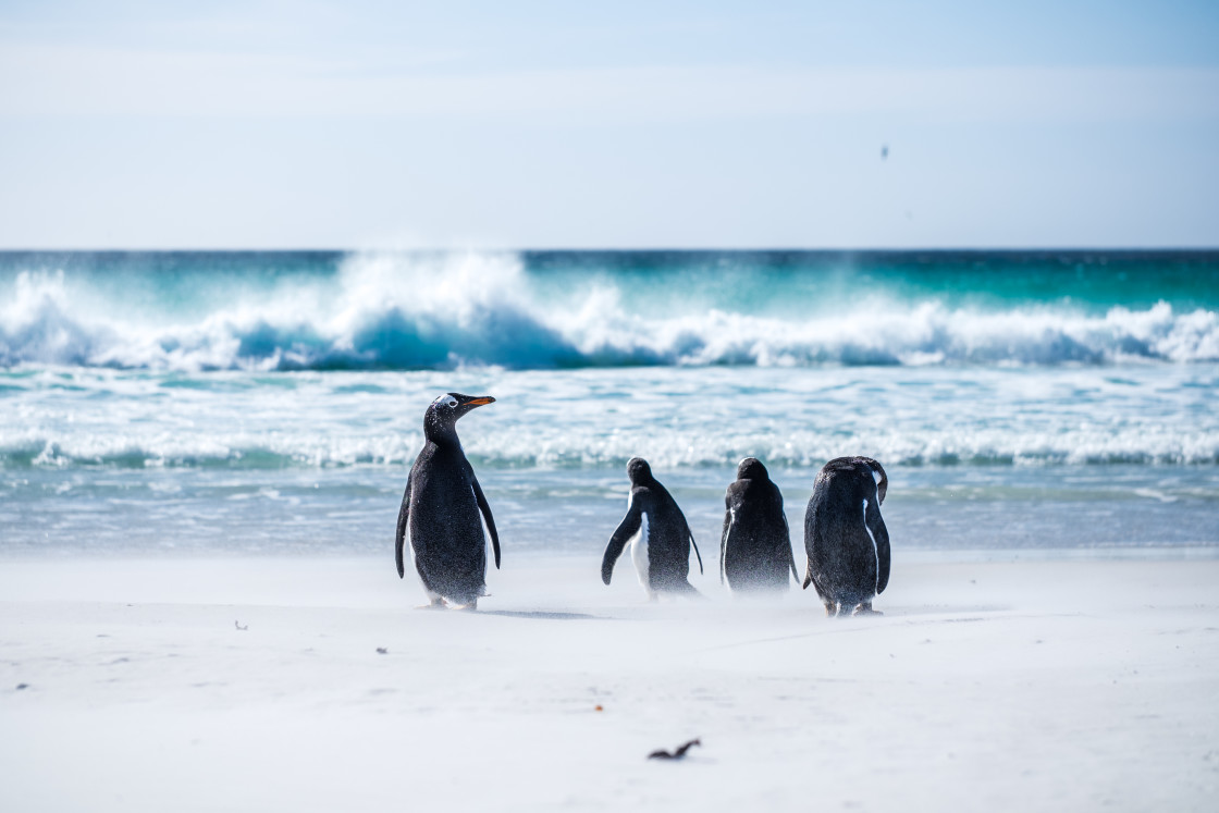 """Gentoo Penguin Beach Day"" stock image"