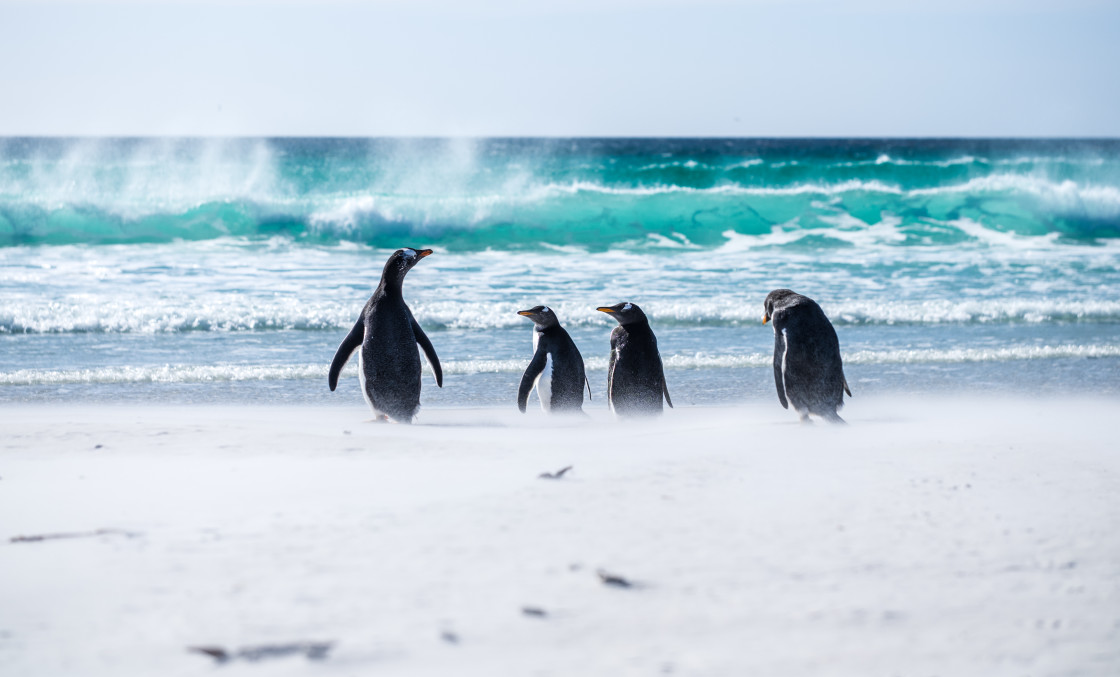 """Gentoo Beach Day"" stock image"