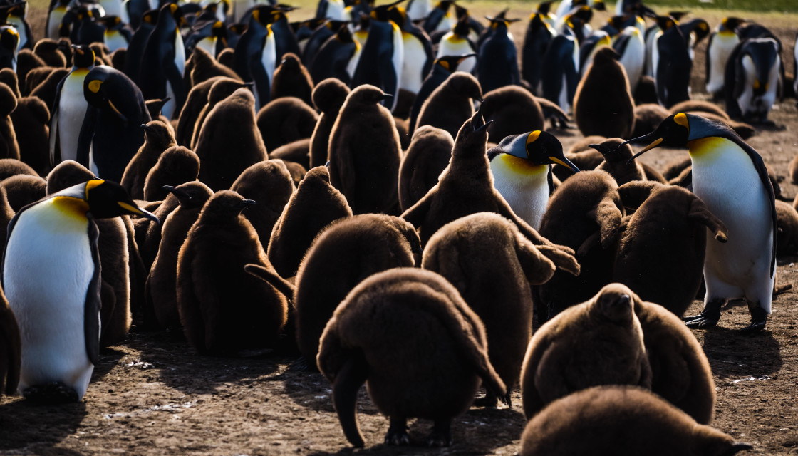 """The Call of the King Penguin Chick"" stock image"