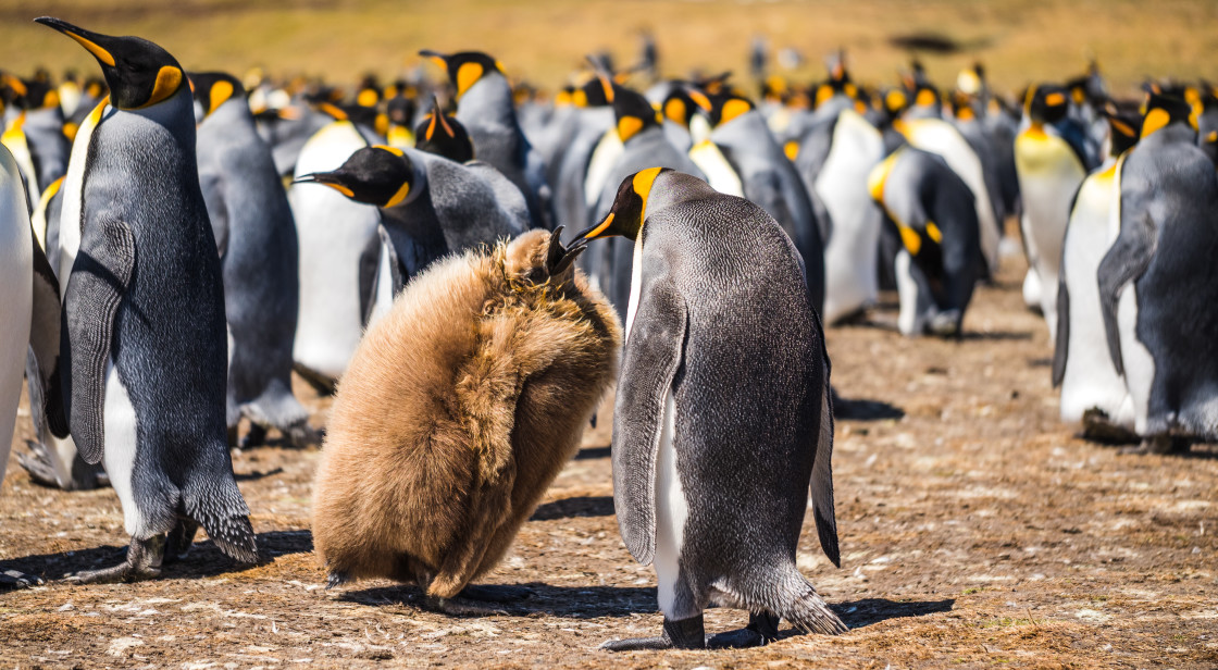 """King Penguin Chick and Parent"" stock image"