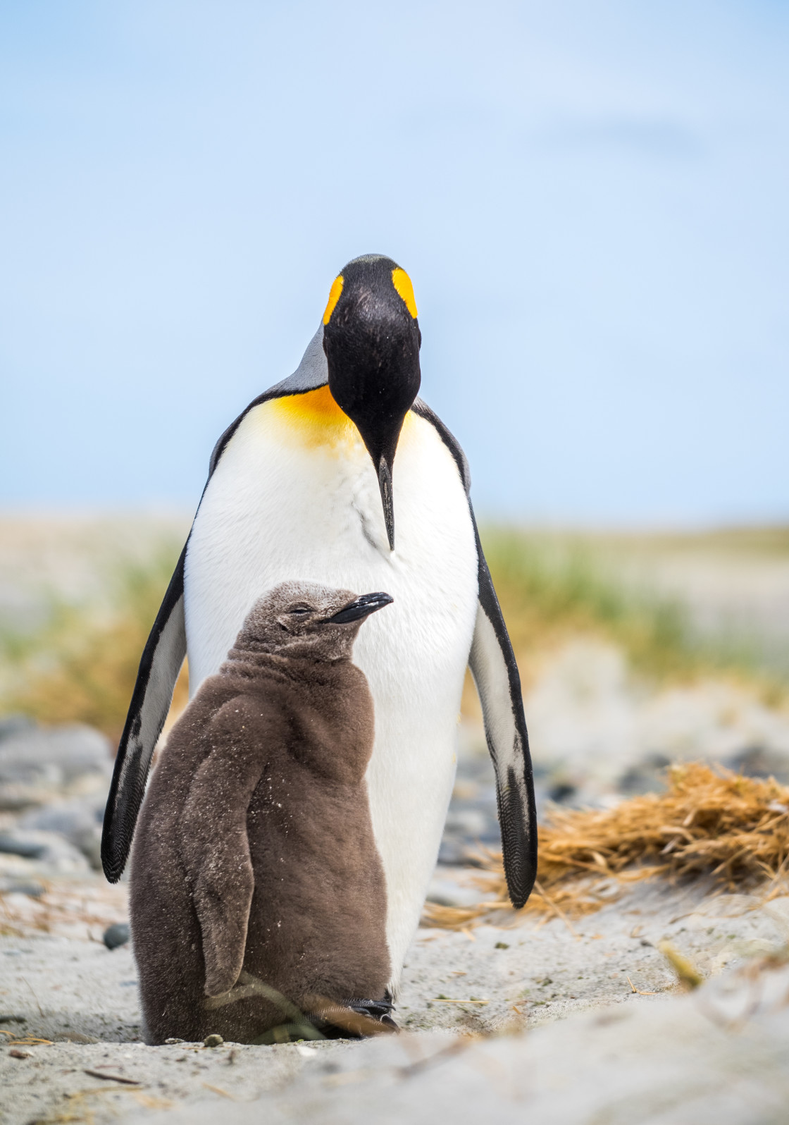 """""""King Penguin Parent and Chick"""" stock image"""