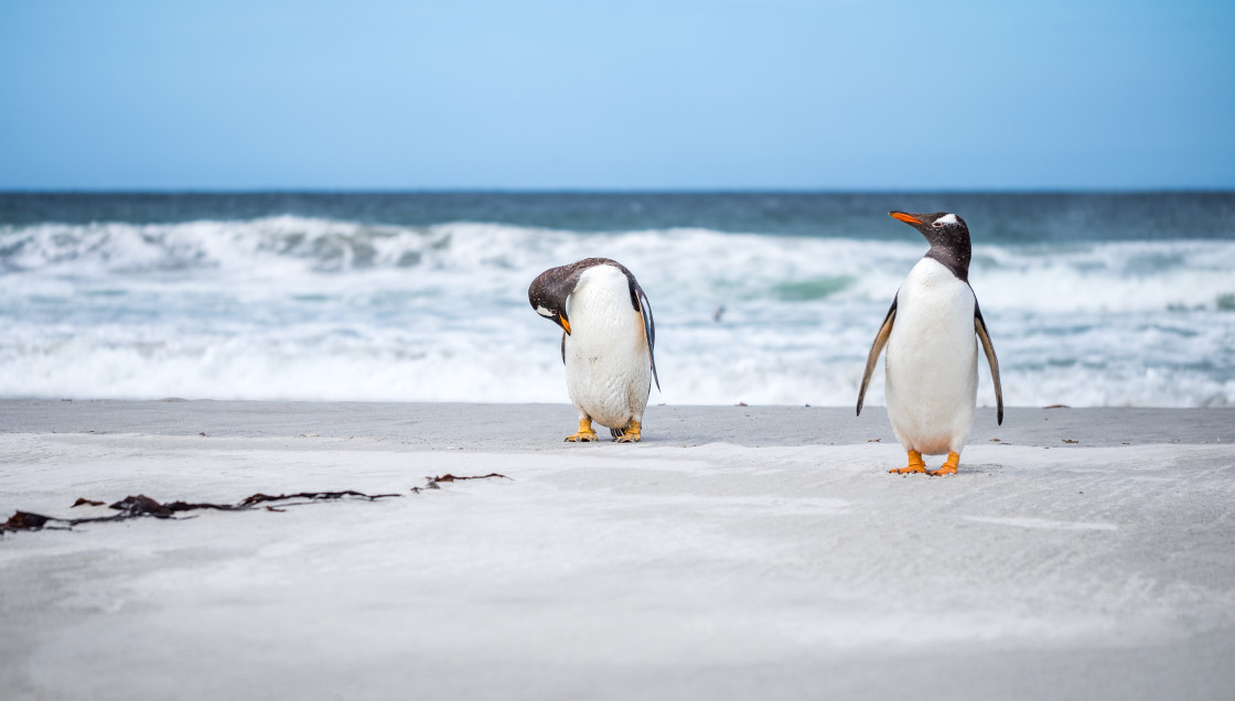 """Gentoo Penguins"" stock image"