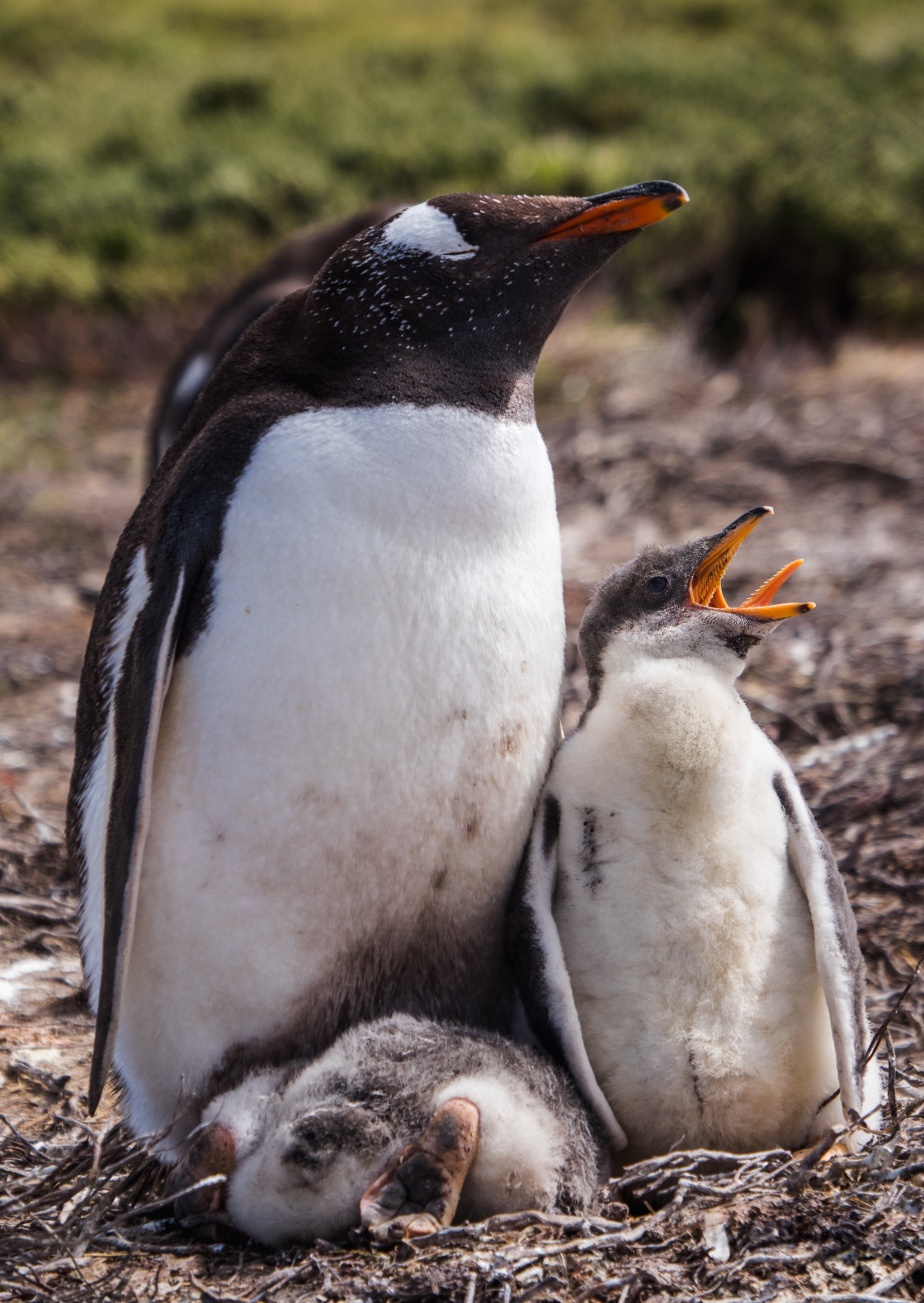 """""""Gentoo Penguin Chick and Parent"""" stock image"""