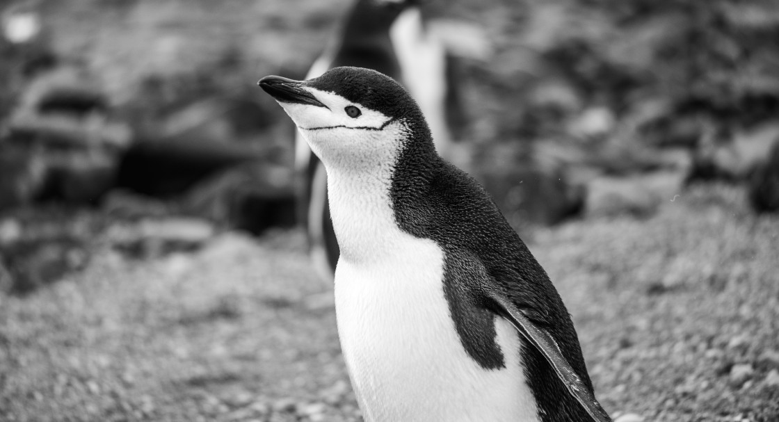 """Chinstrap Penguin"" stock image"