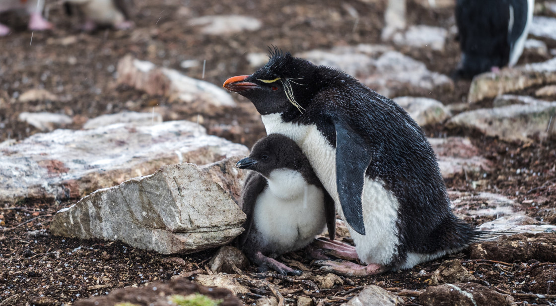 """Rockhopper Penguin Parent and Chick"" stock image"
