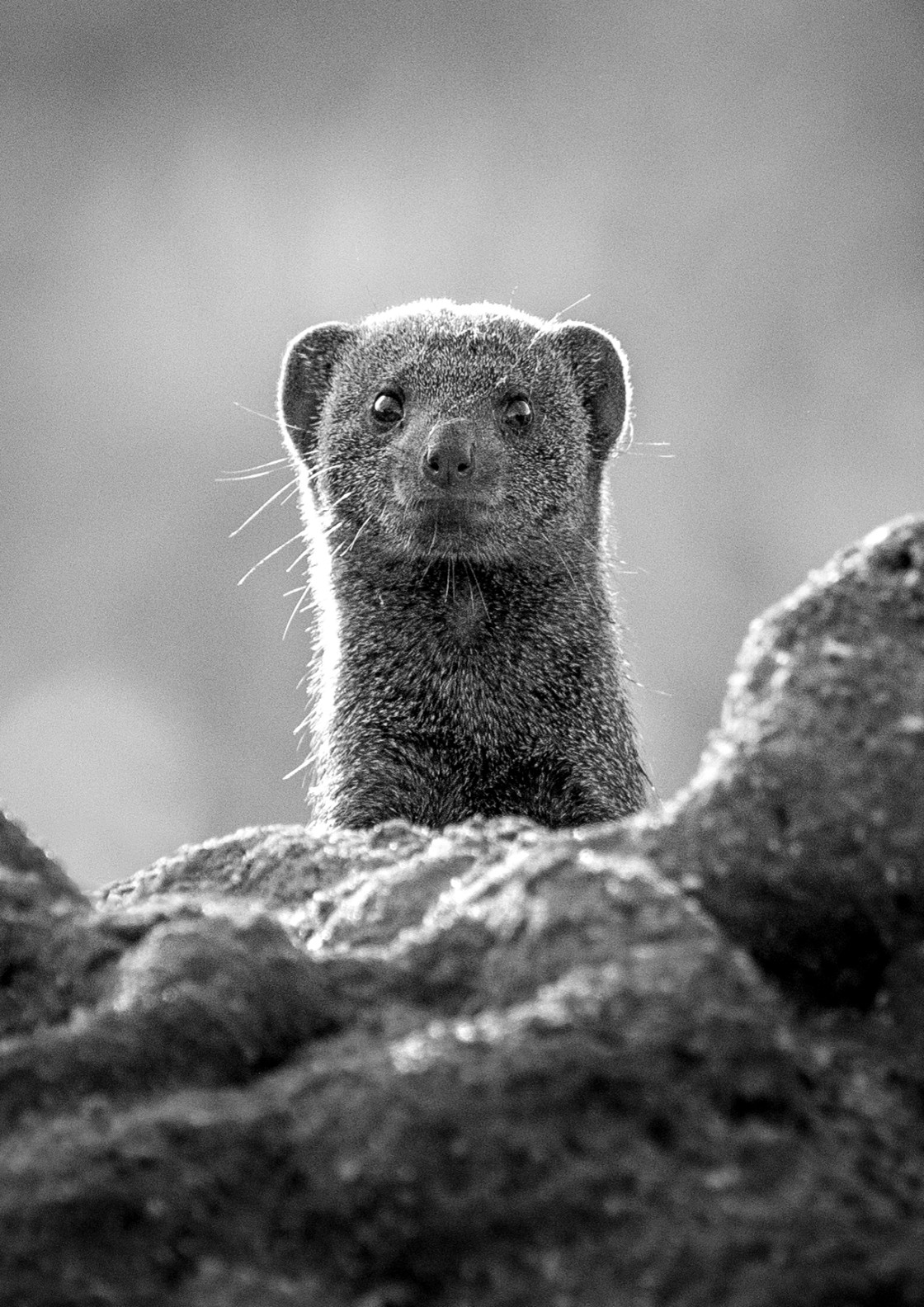 """Dwarf Mongoose"" stock image"