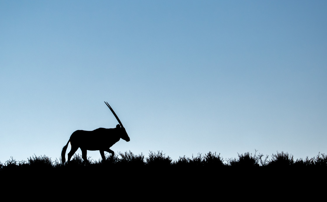 """Oryx silhouette"" stock image"