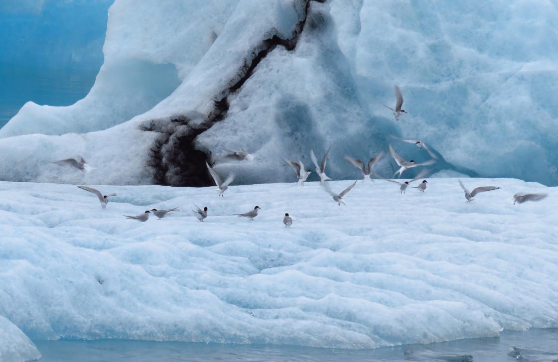 """Birds on glacier"" stock image"