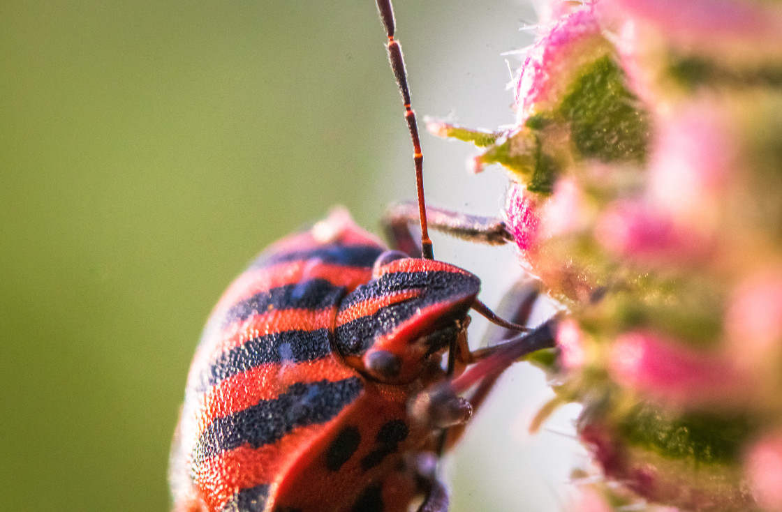 """Macro shot of red and black bug on a flower"" stock image"