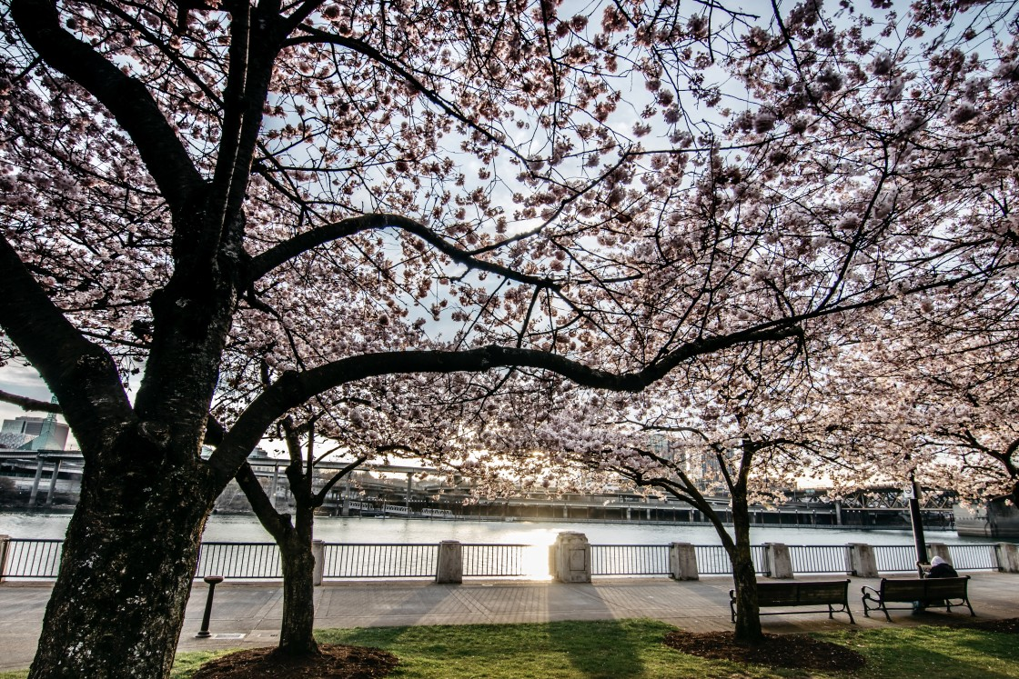 """Cherry Blossoms"" stock image"