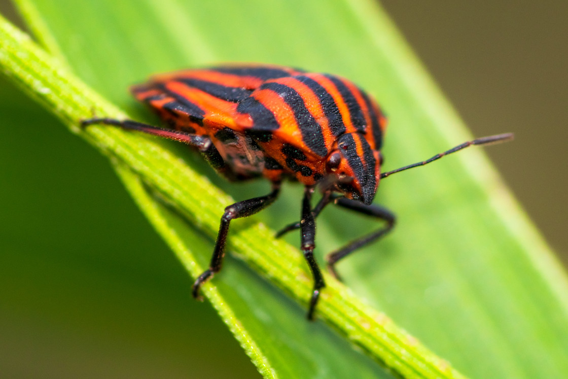 """Macro shot of black and red beetle on a green branch"" stock image"