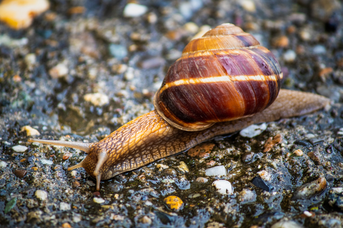 """Snail on a wet asphalt road - close-up"" stock image"