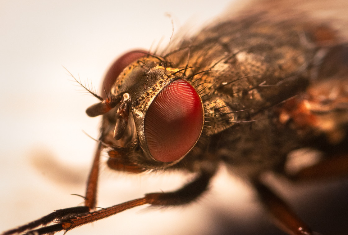"""Macro shot of fly with big red eyes"" stock image"