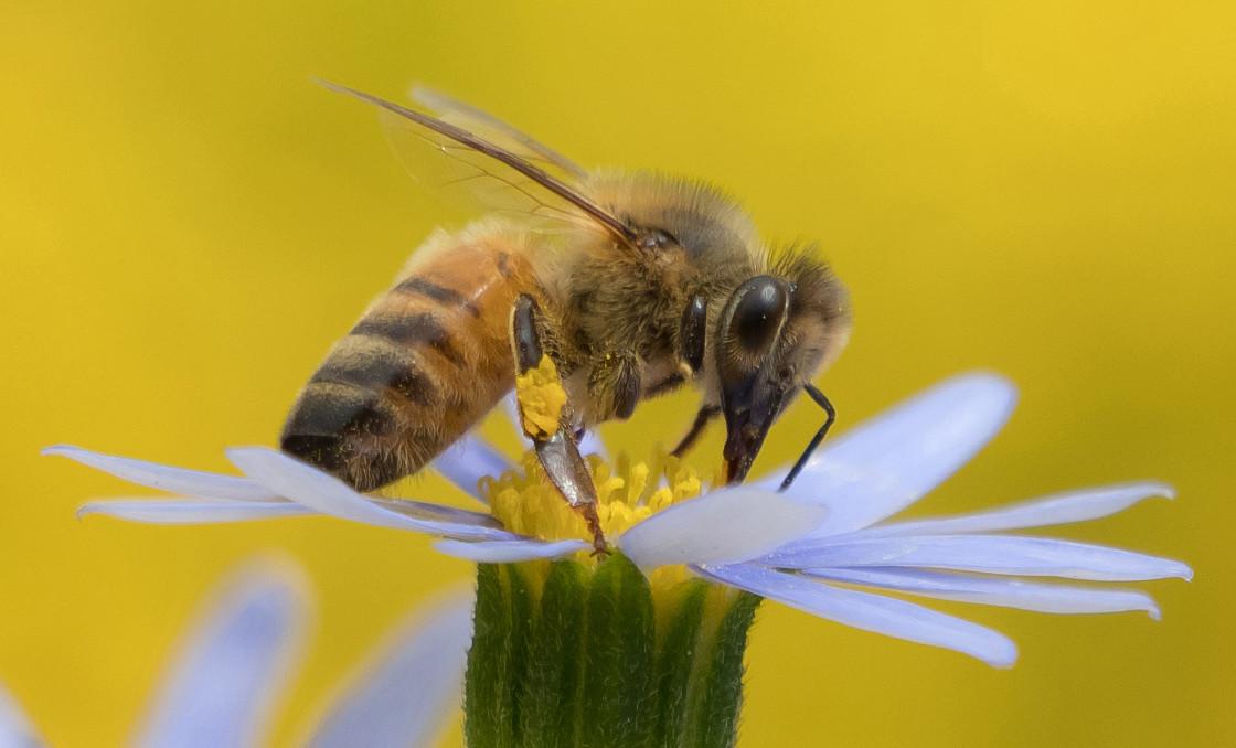 """""""The Honey Bee & The Blue Daisy"""" stock image"""