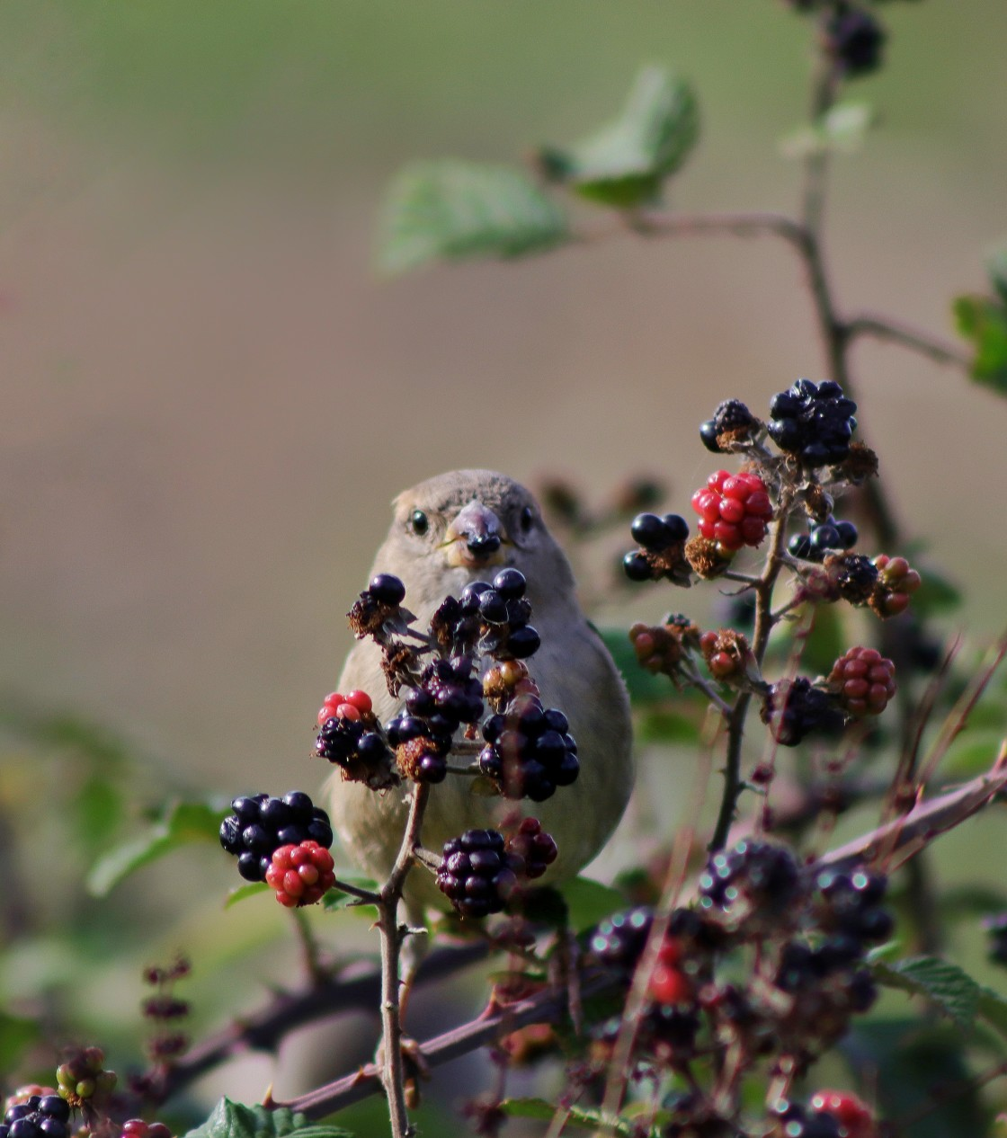 """""""Sparrow eating a berry"""" stock image"""