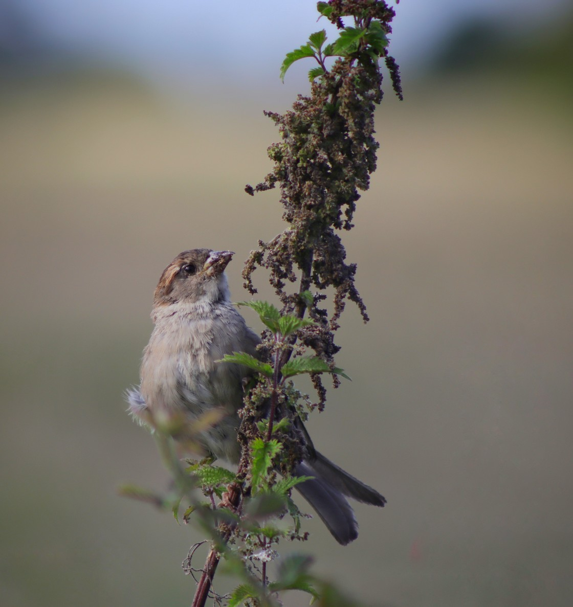 """""""Perched sparrow"""" stock image"""